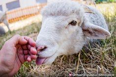 El mejor amigo que alguien puede tener <3  Muchas personas dicen que el perro es el mejor amigo del ser humano pero lo dicen solo porque no conocen bien a las ovejas! Las ovejas son sin duda uno de los mejores amigos que alguien puede tener. Son animales muy solidarios y empáticos y les encanta tener amigos. Cada vez que llega un nuevo habitante al santuario las ovejas son las primeras en darles la bienvenida y siempre están dispuestas a compartir su comida y sus camas con ellos. Además su…