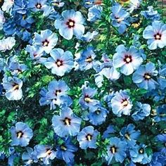 Minerva Rose of SharonClear blue flowers bloom nonstop through summer into fall. Foliage remains attractive all season. Thrives in heat, humidity, drought and even poor soils. Grows 6-8 ft. Plant in full sun. Potted. Zones 5-8.   Cute Quote