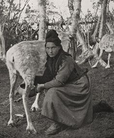 Sami woman in Sweden milking reindeer. Svensk samisk kvinne som melker reinsdyr. | Flickr - Photo Sharing!