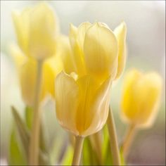 <3 Pale Yellow Tulips - See more photos like these @ https://www.alwayswanderlust.com