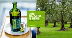 The world's best olive oil brand that offers high quality olive oil, best balsamic vinegar, truffle oil, and condiments. We source only the best ingredients the Mediterranean has to offer. Best Olive Oil Brand, Olive Oil Brands, Olive Oils, Best Balsamic Vinegar, Balsamic Vinegar Of Modena, Flavored Olive Oil, Truffle Oil, Truffles, Harvest