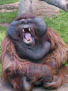 Que sono ZzzZ. O fato de que orangotangos bocejam não é novidade para ninguém...