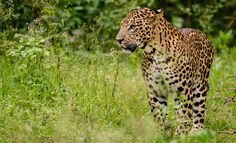 Male Indian Leopard at Rajiv Tiger Reserve - The Indian leopard (Panthera pardus fusca) is a leopard subspecies widely distributed on the Indian subcontinent. Gir Forest, Leopard Pictures, Tiger Conservation, Wildlife Of India, Wildlife Safari, African Leopard, Panthera Pardus, Leopards, Big Cats
