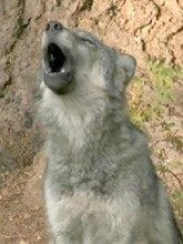 Howling for Support