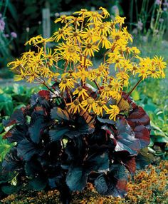 Ligularia dentata 'Britt-Marie Crawford' - dark chocolate-maroon leaves with dark purple undersides, rather flat orange-yellow flowers bloom, perfers morning sun afternoon shade Leopard Plant, Flowers Perennials, Planting Flowers, Plants, Shade Garden, Garden Shrubs, Shrubs, Bog Garden, Perennial Plants