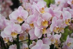 The Orchids of Keukenhof Gardens