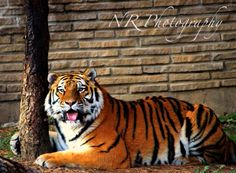 Tiger animal photography! My photography! More on my facebook page www.facebook.com/nrphotography4 :) Email me at nrphotography4@yahoo.com for info about photoshoots and more. Check out my new website www.nrphotography4.com! #photography #animal #tiger Pet Tiger, Animal Photography, Shots, Photoshoot, Facebook, Website, Check, Animals, Nature Photography