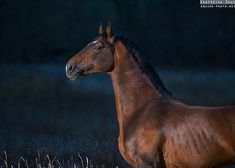 WARMBLOOD Equine photography by Ekaterina Druz