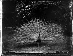 © Sarah Moon, Peacock