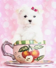 Gorgeous Maltese puppy #maltese #puppy #puppiesinteacups Get me out of this silly cup!