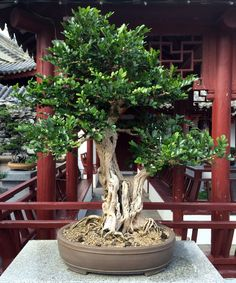 File:Murraya paniculata bonsai, JBM.jpg