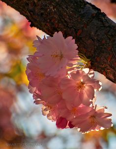 Japanese cherry tree flowers with magic backlight