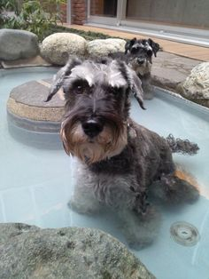 The hot spring of a dog, would have never been able to get her in here!