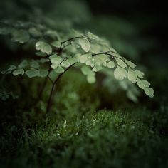 Small World / Irene Suchocki - beautiful photo of maidenhair fern