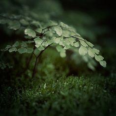 Small World / Irene Suchocki - beautiful photo of maidenhair fern