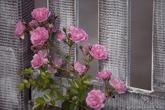 róża pnąca shabby chic