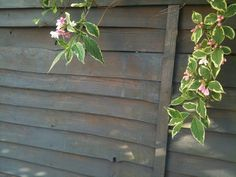 painted garden fence in blue/grey Silver Copse colour. Makes the plant really stand out against it.