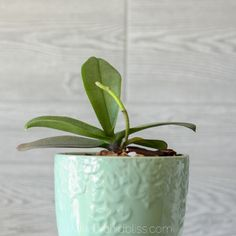 After trimming the flower spike this orchid is growing a new flower spike. Click on the link to where to cut the flower spike on your orchid so you can get more flowers. #orchid #orchids #flowers #indoorgarden #orchidflowerspike #orchidbliss