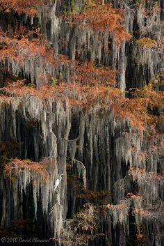 Egret In Cypress Swamp - Autumn Louisiana