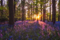 Bluebells at Sunset - Bluebells cover in low May light on a spring evening.