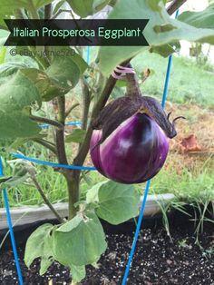 RARE✿ Heirloom Malaysian Dark Red Eggplant Seeds ●Non-bitter