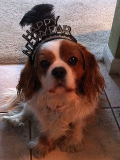 My adorable Cavalier King Charles dog named Ruby. She was 10 years old last New Years Eve (12/31/11)