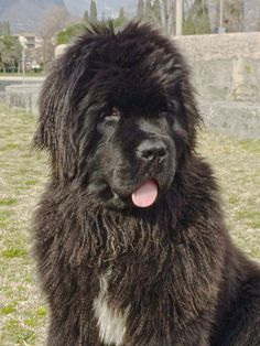 Thickish Newfoundland Autumn's Rose aka Teddy ❤