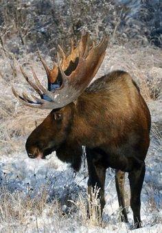 This looks like the moose strolling the Fern Lake trail this summer at RMNP. Moose Pics, Moose Pictures, Moose Deer, Moose Hunting, Bull Moose, Animal Pictures, Nature Animals, Animals And Pets, Cute Animals