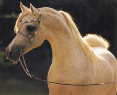 El Shaklan, I have a mare who is line-bred to this horse and looks just like him.