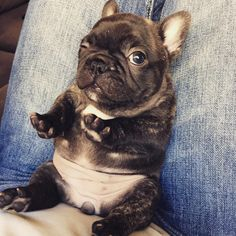 """""""I heard a bag open""""....""""is that food?"""", only a French Bulldog Puppy will wake up from a nap if he hears a bag open ❤"""