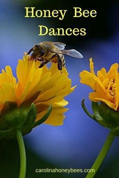 Honey bee dances are an important form of communication.  Carolina Honeybees