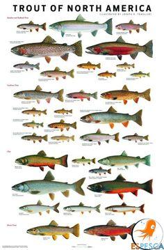 Infografías de peces 25