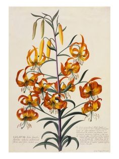Botanical Print of American Turkscap Lily Giclee Print - up to 42 x 56 - 179