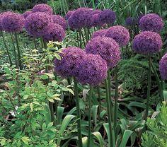 Allium, Allium Flowers And Allium Gifts.