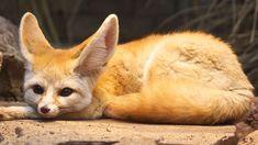 Yorkshire Terrier, Nocturne, Desert Sahara, Warrior Cats Fan Art, Fennec Fox, Foxes Photography, Cute Fox, Kawaii, Kangaroo