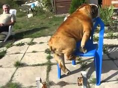 VIDEO: This smart dog loves sitting on his chair. Watch as he does a pull-up to sit on his chair.