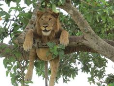 A lion just hanging out in Queen Elizabeth National Park in Uganda by Mary Lynn Campbell