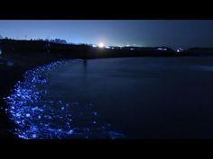 The firefly squid of Toyama Bay, Japan