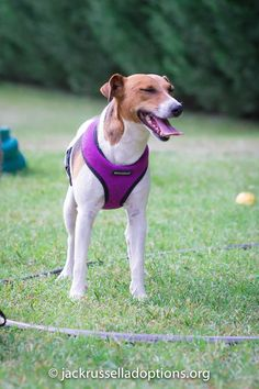 Georgia Jack Russell Rescue, Adoption and Sanctuary | Molly #cutest #rescue…