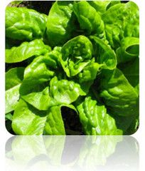 Lettuce (Buttercrunch) seeds at $.99/pack | Grow Organic Lettuce Non-GMO