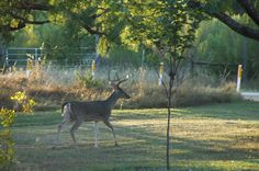 Two days ago, we saw this male deer in our garden: The picture is a tad grainy, but I still believe it shows the buck well in the evening sunlight.