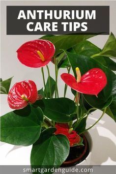 Anthurium Care Tips Grow This Stunning Houseplant At Home Learn More At Smartgardenguide Com Anthurium Care Tips Grow Thi Flowering House Plants Anthurium Care House Plant Care