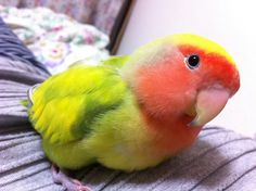 Peach-faced Lovebird.