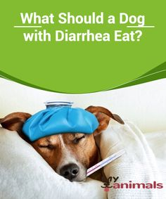 What Should a Dog with Diarrhea Eat?  Diarrhea is a very common sickness that affects many dogs. This could be something more serious than what we imagine, especially if we do not know how to treat it. The animal could run the risk of dehydration, or in the worst of cases, greater damage because of intestinal bacteria.