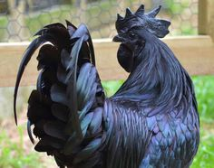 This chicken's body is all black, even the organs, meat, and bones!-- that is really rare for chicken --