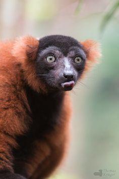 Cute lemur  - Roter Vari  - (by CROW1973)