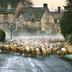 Sheep stampede! This is my vision of a happy and wonderful time in Scotland or Ireland; nothing like a flock of sheep in the road!