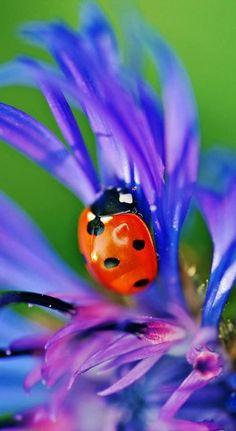ladybug on purple flower