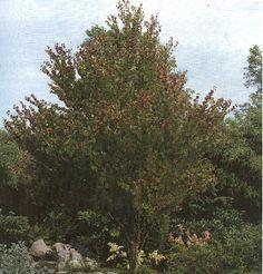 Cercidiphyllum japonicum / Hjertetræ