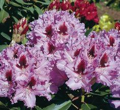 Rhododendron 'Kabarett' 1 flower